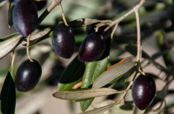 Olives ready to pick Photo by Jocelyn Kinghorn, Flickr