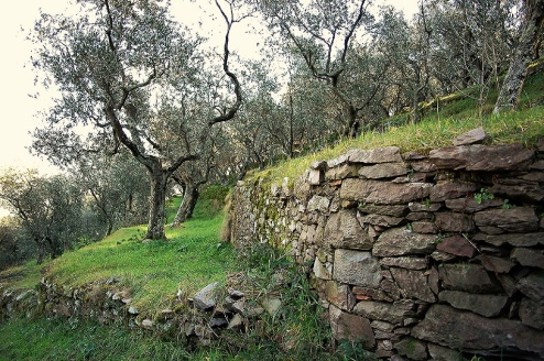 Olive Grove, Tuscany' Photo by Davide Rizzo via Flickr