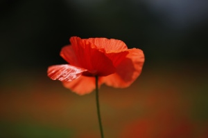 Poppy by Jenny Downing via Flickr